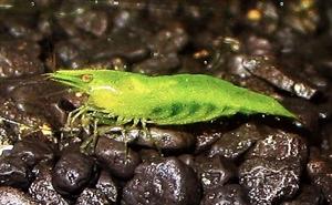 Image de Caridina  babaulti green