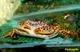 Image de Parathelphusa sp pantherina