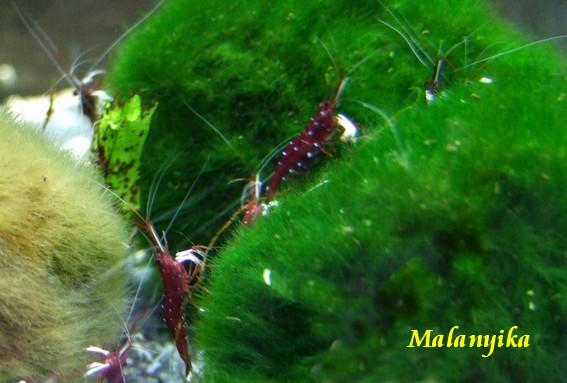 Arrivage des invertebres d'eau douce - Malanyika 0000863