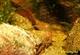 Image de Caridina mariae  Tiger red