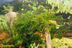 Image de Vesicularia Dubyana (Mousse de java )