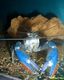 Image de Cherax quadricarinatus  sp blue