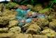 Image de Neocaridina davidi blue rilli