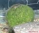 Image de Cladophora aegagropila 4/5 cm