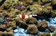 Image de Caridina cantonensis red crystal PRL  grade S