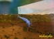 "Image de Neocaridina davidi ""blue  velvet"""