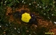 Image de geosesarma sp crabe vampire jaune (cpl)