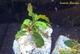 Image de Bucephalandra  brownie phantom