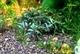 Image de Bucephalandra sp belindae
