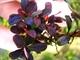 Image de Bucephalandra  brownie purple
