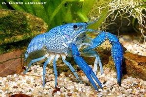 Image de procambarus alleni bleue couple