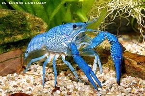 Image de procambarus alleni bleue  sm