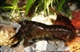 Image de Cambarellus patzcuarensis schoko (cpl)