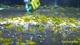 Image de neocaridina davidi green jade