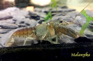 Image de Procambarus vasquezae