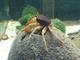 Image de Parathelphusa ferruginea