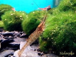 Image de Macrobrachium sp redstipe Indien