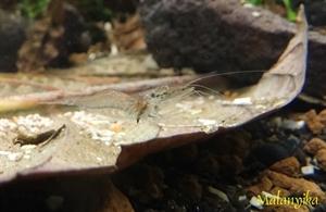 Image de Macrobrachium sp  (amerique du sud)