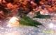 """Image de neocaridina davidi"""" super green jade"""""""