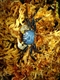 "Image de Geosesarma sp ""yellow eye"""