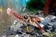 Image de Procambarus braswelli