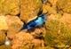 Image de Neocaridina davidi blue carbon rilli