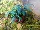 Image de Bucephalandra  sp velvet