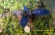 Image de bucephalandra sp dark afriqua