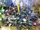 Image de Bucephalandra sp suang blue
