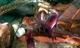 Image de Cherax boesemani kambuaya creeck red claw