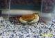 Image de Sundathelphusa sp orange