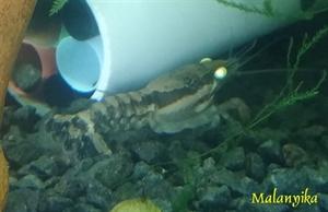 Image de Procambarus ouachitae yellow eyes