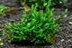 Image de Plagiochila  sp. cameroun moss