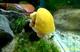 Image de Ampullaria australis lemon