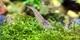 Image de Caridina multidentata  (japonica)